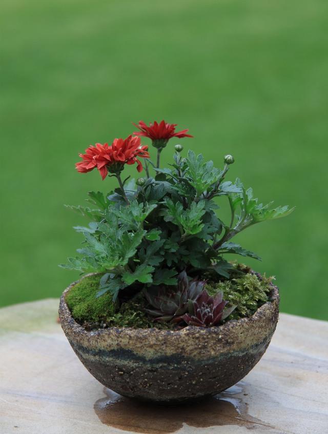 Garden mum 2012