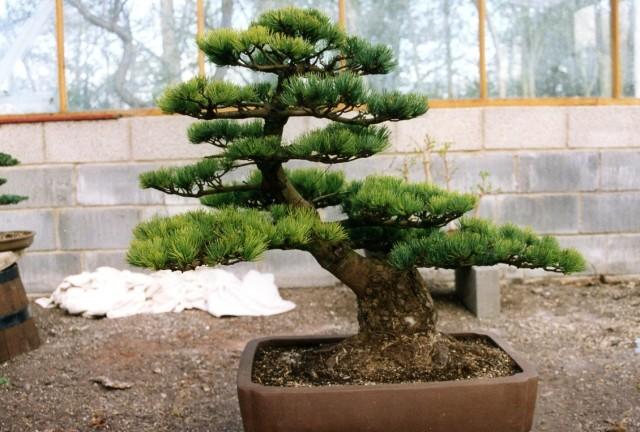 W.Pine 1