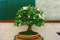 Japanese Hawthorn 2000