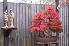 Korean Hornbeam RED